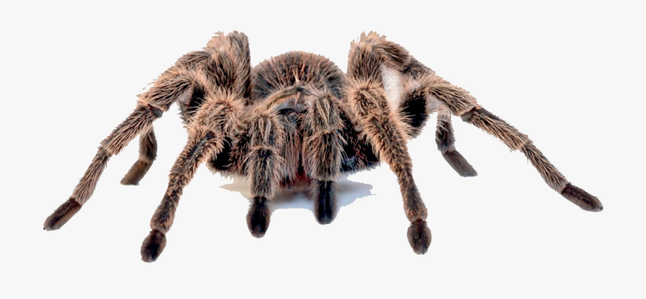 Clip Art Spider Whiteknee Hawk Desktop Tarantula Wallpaper