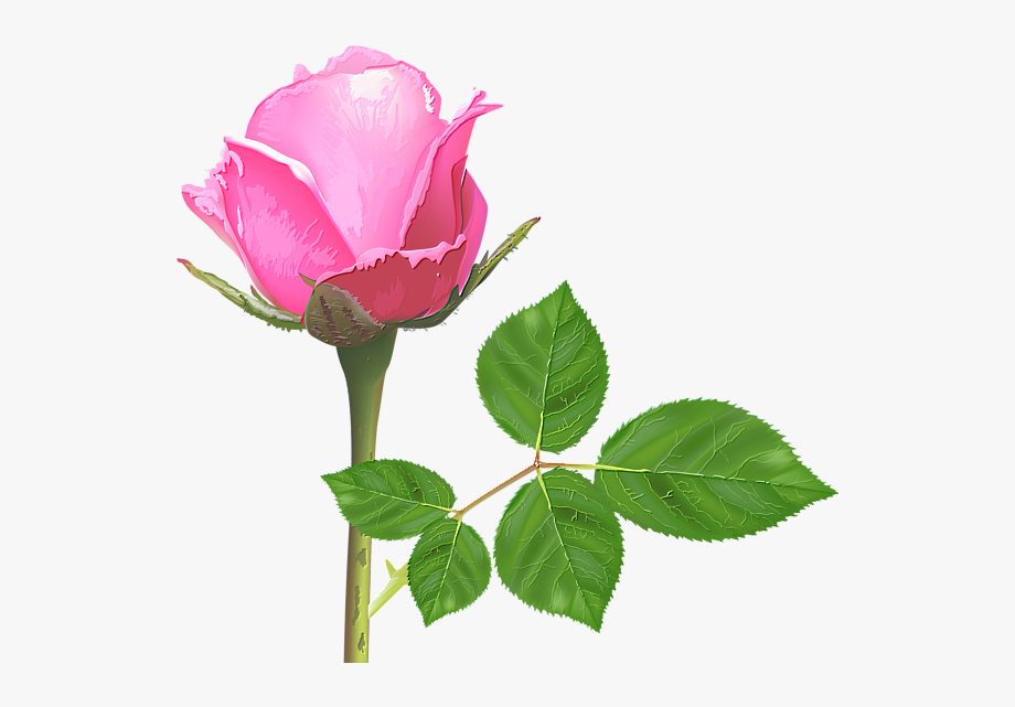 Light Pink Rose Pink Rose Flower Pink Roses Rose Single Rose Flower Hd Transparent Cartoon Free Cliparts Silhouettes Netclipart