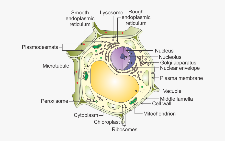 A Draw Neat Diagram Of Plant And - Plant Cell All Names ...